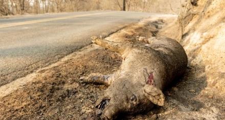 Especies en extinción: Las más afectadas a causa de los incendios en Estados Unidos