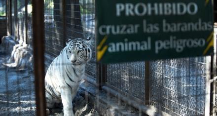 Murió la tigresa blanca del zoo de La Plata
