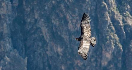 Avistan 49 ejemplares de cóndor en los Andes ecuatorianos
