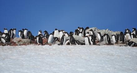 El futuro incierto del pingüino emperador
