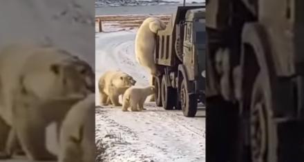 Rusia: Captan el momento en que una decena de osos polares registran un camión de basura en busca de comida