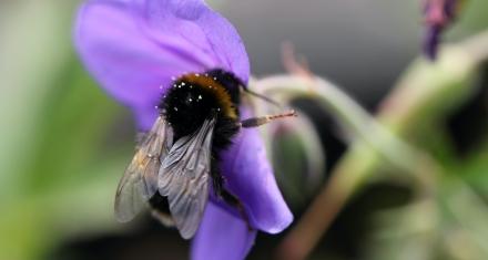 Large Bumblebees Start Work Earlier