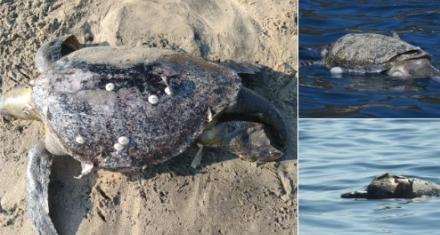 Se encontraron casi 300 tortugas muertas en las playas de México