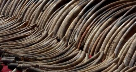 Sigue existiendo la venta ilegal de marfil en la Unión Europea