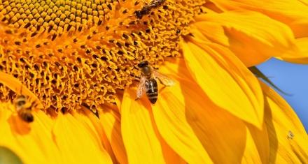 El glifosato de Monsanto también daña a las abejas