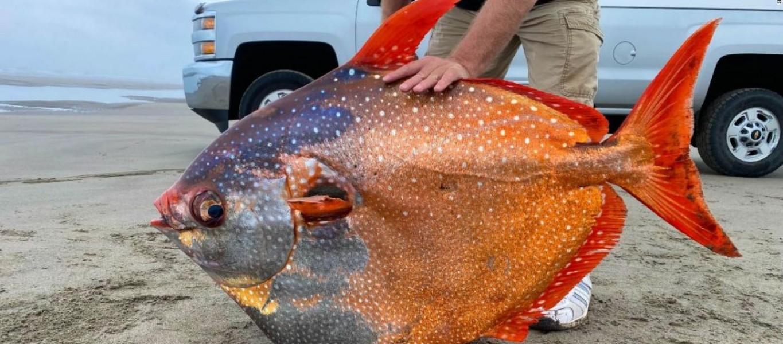 pez-pha-gigante-oregon