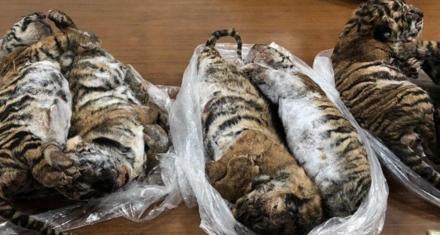 Vietnam: Detuvieron a un hombre que llevaba 7 tigres congelados en un coche