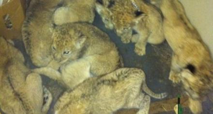 Sudáfrica: Maltrato animal en las granjas que crían leones y tigres para medicina tradicional china