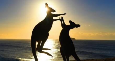 A raíz de la sequía en Australia se autoriza a disparar a los canguros