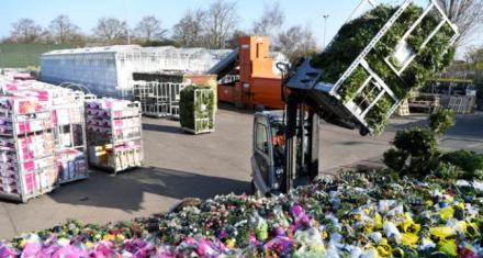 En Holanda se marchitaron miles de millones de tulipanes
