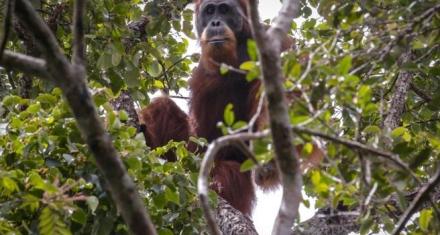 Indonesia habría falsificado datos sobre la población de orangutanes