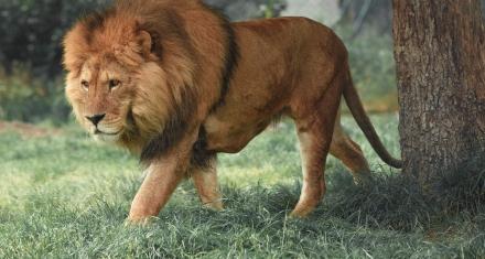 Sudáfrica prohibirá la cría de leones en cautiverio para caza y turismo