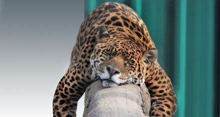 Debido a los incendios en Bolivia, especies como el jaguar se encuentran al filo de su extinción