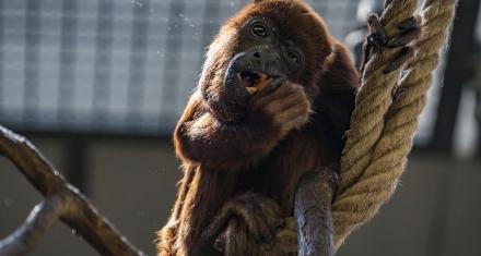 Colombia: Alerta de muerte de monos aulladores por las sequías