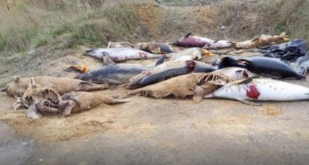 Francia: Descubren en un vertedero decenas de delfines muertos en redes de pesca