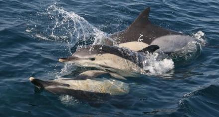 Mediterráneo: Detectan plastificantes en tejidos de los delfines