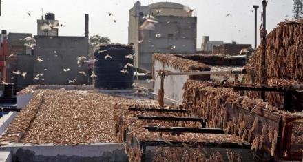 India: Se registra la peor invasión de langostas desde 1993