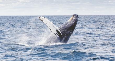 Las ballenas jorobadas se recuperan de su extinción