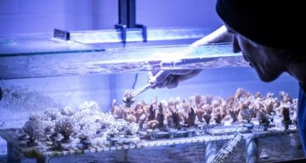 Los corales tambien ingieren microplásticos