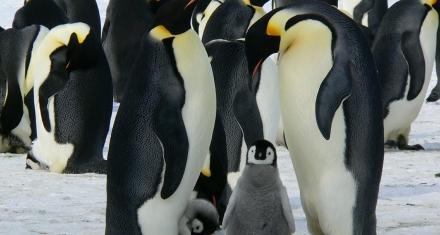 Descubren nuevas colonias de pingüinos emperador