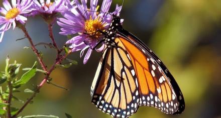 Descubren propiedades antiinflamatorias en la enzima que permite el vuelo de la mariposa