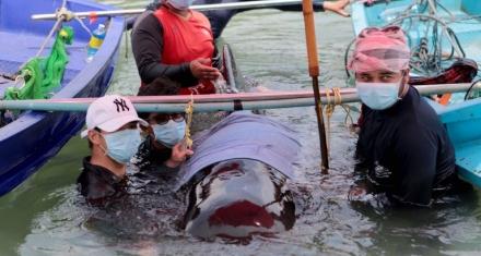 Muere una ballena con 8 kilos de plástico en el estómago