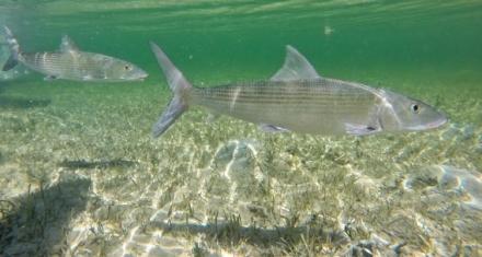 Estados Unidos: Logran la reproducción del macabí, un pez con tres huesos