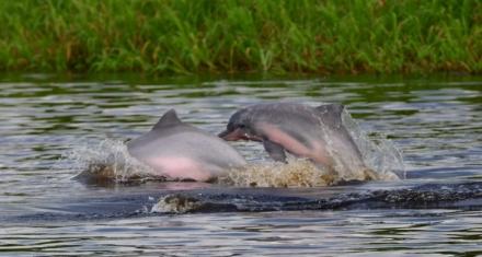 Sudamérica: Lanzan una plataforma para ayudar a conservar a los delfines de río