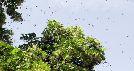 Las miles de polillas que invaden Santiago de Chile no son una plaga