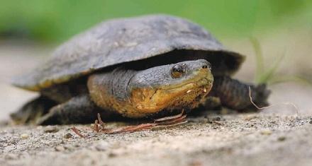 La tortuga caribeña en peligro de extinción gracias a la deforestación de los bosques