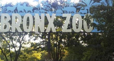 Nueva York: Tigre de un zoo dio positivo por coronavirus