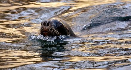En Oregon sacrificarán decenas de leones marinos para proteger a los salmones