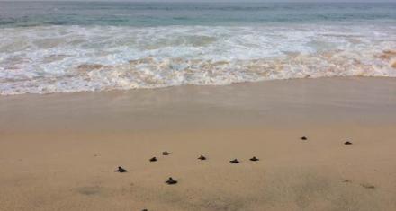 Cabo Verde: Debido a la crisis climática la mayoría de las tortugas nacerán hembras