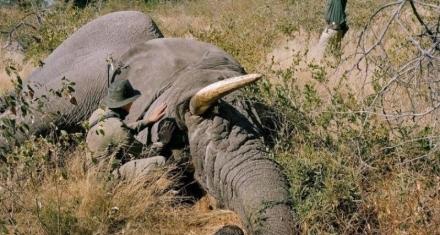 Autorizan caza de elefantes para contentar a agricultores y safaris