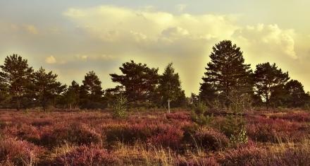 Natural 'bumblebee medicine' found in heather