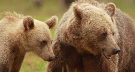 Por culpa de la caza, las hembras de oso pardo alargan su maternidad.