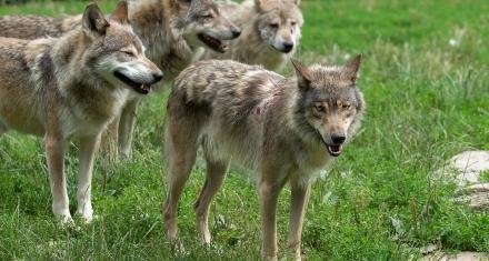 Estados Unidos: Autorizan el uso de bombas de cianuro para matar animales salvajes