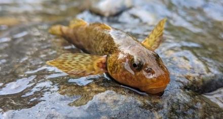 'Salvar al asprete', la inciativa para preservar al pez rumano que vivió con los dinosaurios