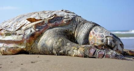 Mares y Océanos: Las tortugas tienen microplásticos en su estómago