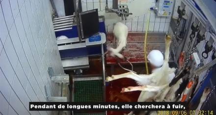 """Francia: Escandalo por maltrato animal en un matadero """"ecológico"""""""