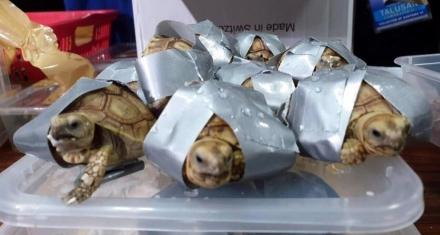 Un pasajero escondió 1529 tortugas de contrabando en sus valijas