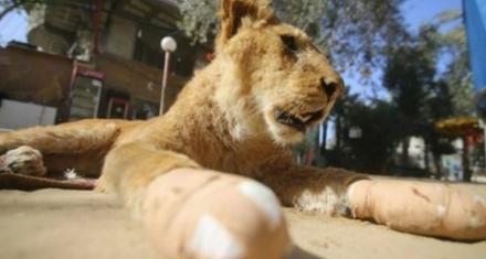 Palestina: Le amputaron las garras a una leona para que los visitantes del zoo puedan jugar con ella