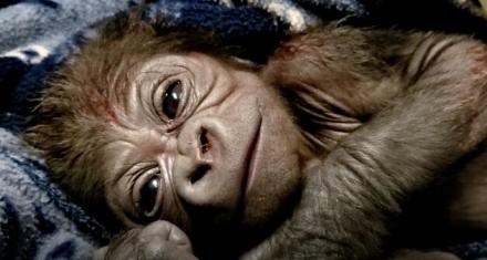 Nació un gorila en peligro de extinción en el zoo de New England