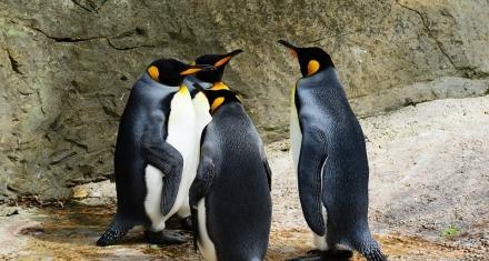 En los últimos 50 años, ciertas poblaciones de pingüinos descendieron hasta un 77%