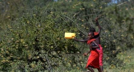 África Oriental: La mayor invasión de langostas de las últimas décadas