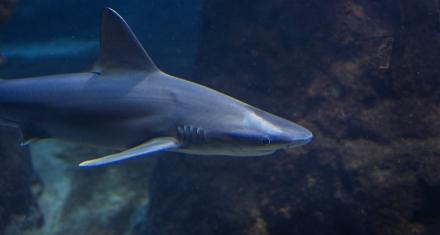 En Galápagos, científicos logran marcar tiburones azules para su vigilancia