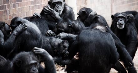 La psicología de los chimpancés los predispone a buscar experiencias compartidas