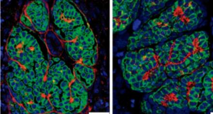 Crearon mini riñones a partir de células madre