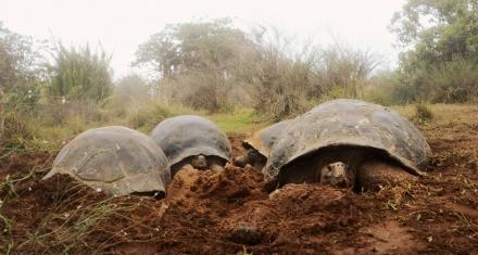 Ecuador censa la población de tortugas gigantes en el volcán Alcedo