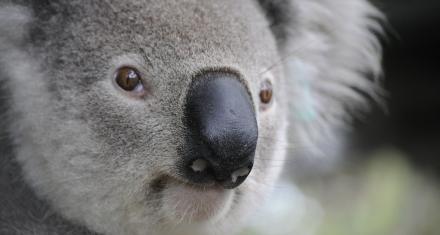Australia: Lluvia de semillas para alimentar a los koalas